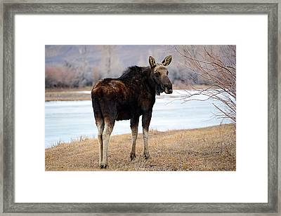 Bull Moose In Late Winter #2 Framed Print