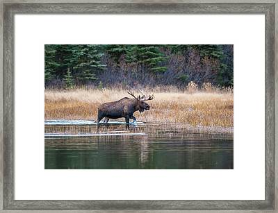 Bull Moose In Rut Wades In A Pond Framed Print