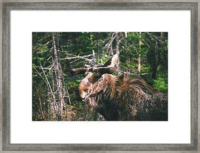 Framed Print featuring the photograph Bull Moose In Spring by David Porteus
