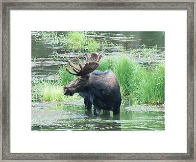 Bull Moose In The Wild Framed Print by Feva  Fotos