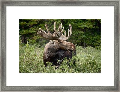 Bull Moose In The Wild Framed Print