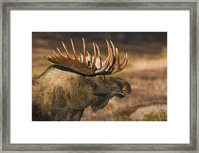 Bull Moose Profile At Sunrise Framed Print by Milo Burcham