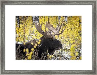 Bull Moose Framed Print by Wildlife Fine Art