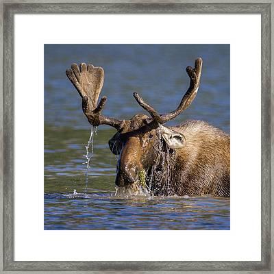 Bull Moose Sampling The Vegetation Framed Print by Jack Bell