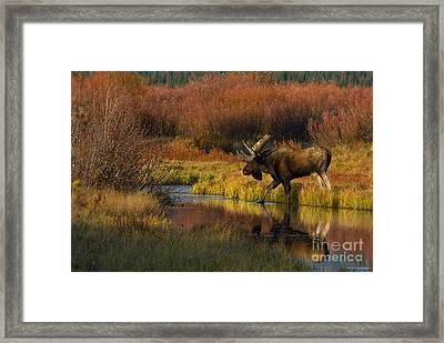 Bull Moose Framed Print by Thomas and Pat Leeson