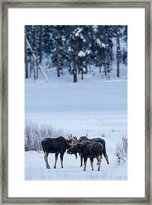 Bull Moose Trifecta Framed Print