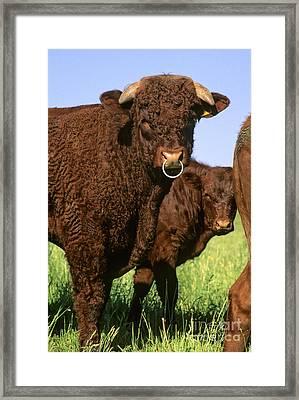 Bull Salers. French Race Framed Print