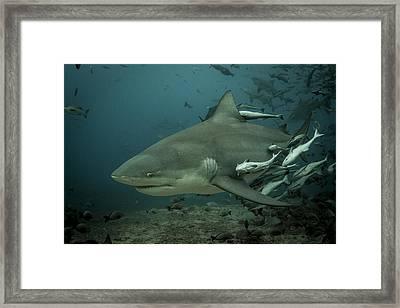 Bull Shark With Ramoras Framed Print
