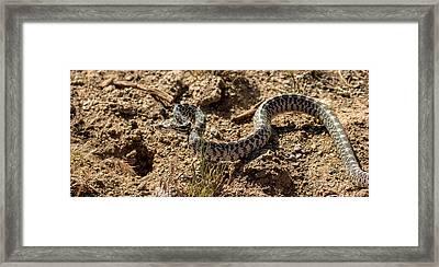 Bull Snake Framed Print by Robert Bales