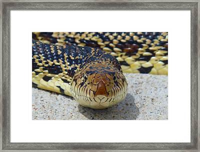 Bull Snake Stare Framed Print
