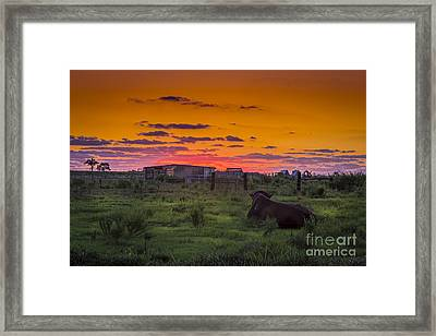 Bull Sunset Framed Print