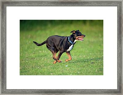 Bull Terrier Crossbreed Dog Framed Print by Simon Booth