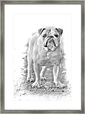 Bulldog Framed Print by James BO  Insogna