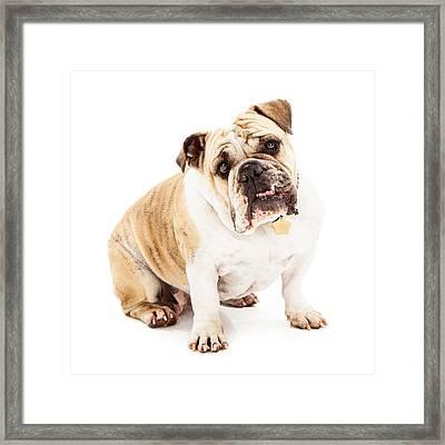 Bulldog Looking Attentive  Framed Print