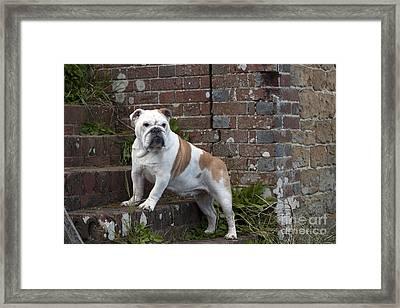 Bulldog On Steps Framed Print by John Daniels