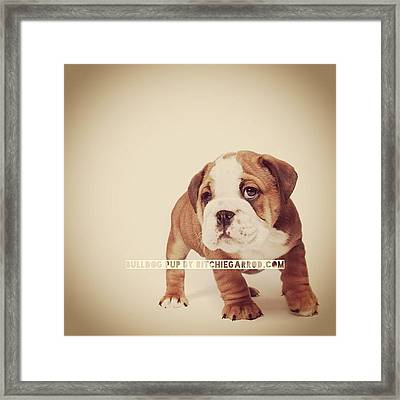 Bulldog Pup Framed Print by Ritchie Garrod