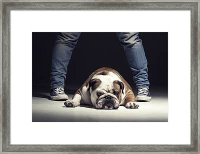 Bulldog Framed Print by Samuel Whitton