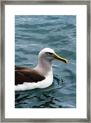 Buller's Albatross (thalassarche Bulleri Framed Print by Micah Wright