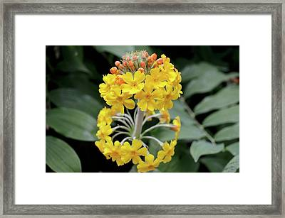 Bulley's Primrose (primula Bulleyana) Framed Print by Jane Sugarman