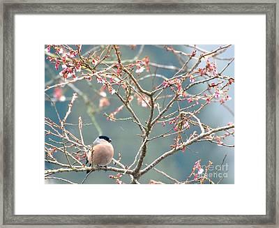 Bullfinch Framed Print by C Lythgo