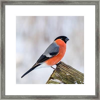 Bullfinch On The Edge Framed Print