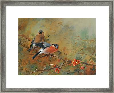 Bullfinches And Pyrus Japonica Framed Print by Archibald Thorburn