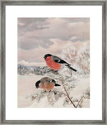 Bullfinches Framed Print