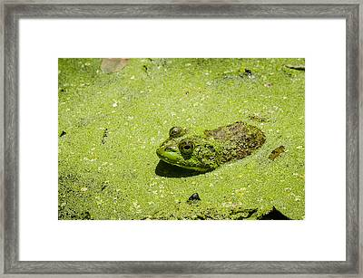 Framed Print featuring the photograph Bullfrog In Duckweed by Bradley Clay