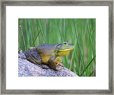 Bullfrog On Bubble Pond Framed Print