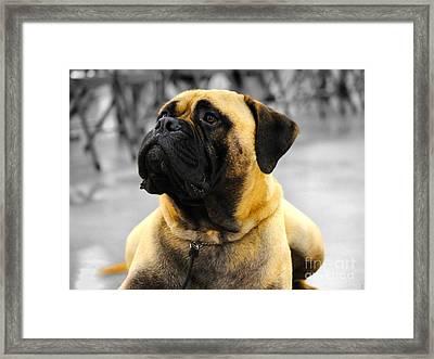 Bullmastiff Framed Print by Jai Johnson