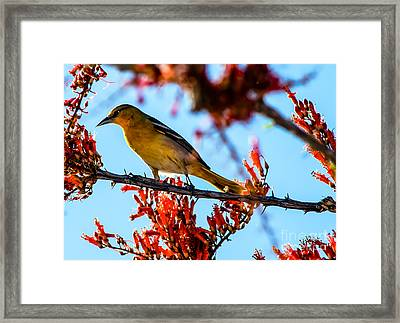 Bullock Oriole Framed Print by Robert Bales