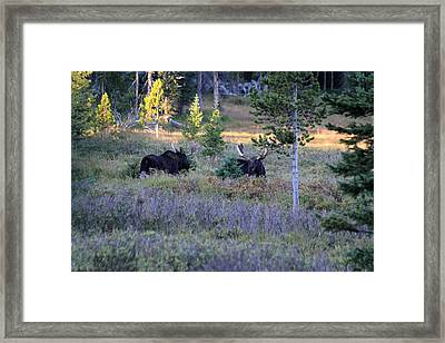 Bulls In The Meadow Framed Print