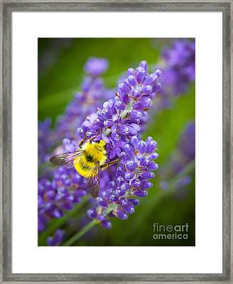 Bumble Bee And Lavender Framed Print by Inge Johnsson