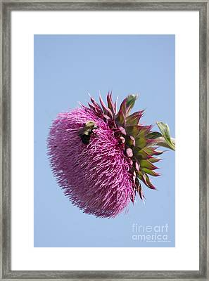 Bumble Bee And Thistle Framed Print by Tannis  Baldwin