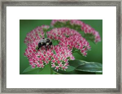 Bumble Bee Bliss Framed Print by Sue Chisholm