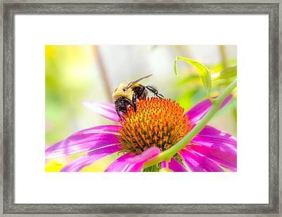 Bumble Bee Framed Print by Bob Orsillo