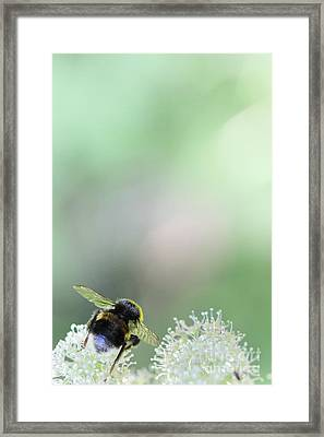 Framed Print featuring the photograph Bumble Bee by Jivko Nakev