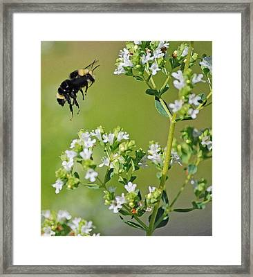Bumble Bee Framed Print by Kjirsten Collier
