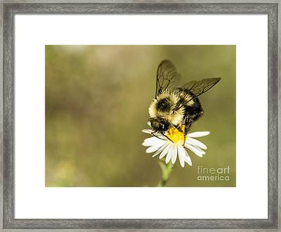 Bumble Bee Macro Framed Print by Debbie Green