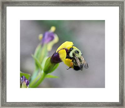 Framed Print featuring the photograph Bumble Bee Making A Wish by Penny Meyers