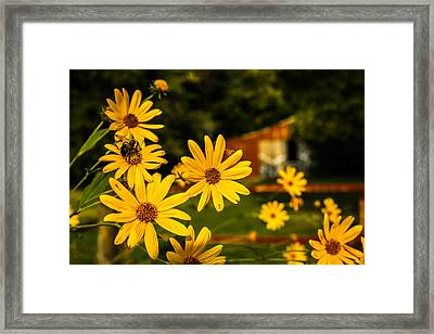 Bumble Bee On A Western Sunflower Framed Print
