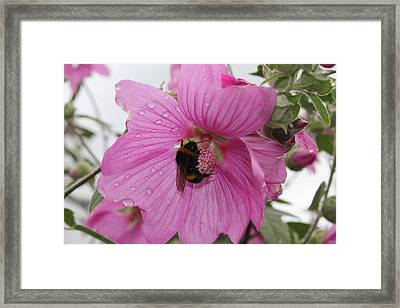 Framed Print featuring the photograph Bumble Bee On Lavatera by David Grant