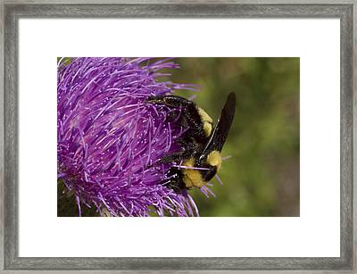 Bumble Bee On Thistle Framed Print by Shelly Gunderson