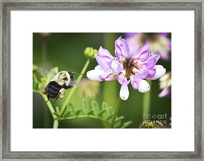Bumble Bee With Pollen Basket Framed Print by Ricky L Jones