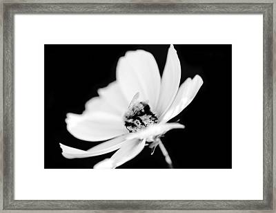 Bumblebee Collect Pollen  Framed Print by Tommytechno Sweden