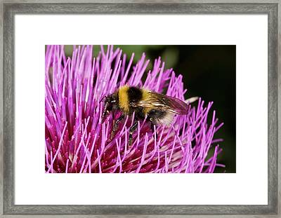Bumblebee Feeding On Thistle Flower Framed Print by Bob Gibbons