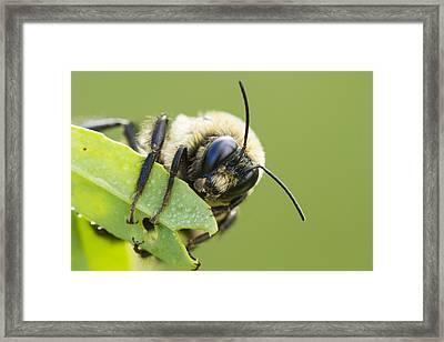 Bumblebee Framed Print by Mircea Costina Photography