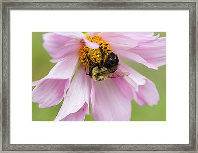 Bumblebee On A Blossom Framed Print