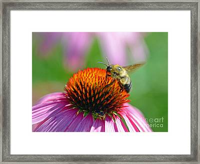 Bumblebee On A Coneflower Framed Print