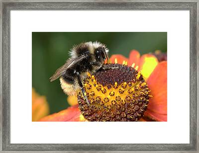 Bumblebee On A Flower Framed Print by Nigel Downer